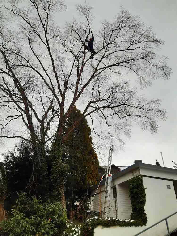Baumpflege_Ravensburg_1